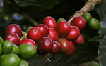 red and green cherry fruit